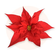 Mini poinsettia