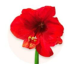 Amaryllis rouges