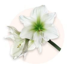 Biały amarylis