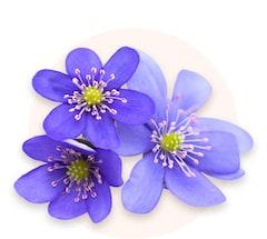 Violettes mauves