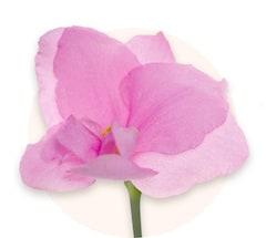 Violettes roses