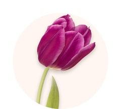 Violette Tulpen