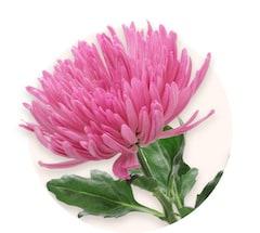 Chrysanthèmes anastasia roses