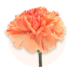 Orange mini carnations