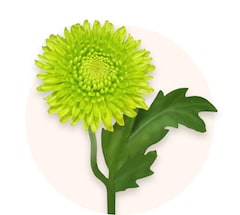 Grüne Chrysanthemen
