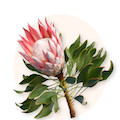 Protea nutans