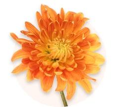 Orange Chrysanthemen