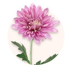 Chrysanthèmes roses