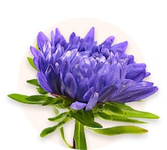 Violette Chrysanthemen
