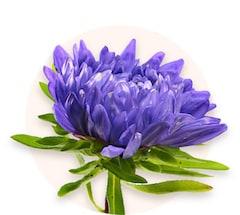 Crisantemos lilas