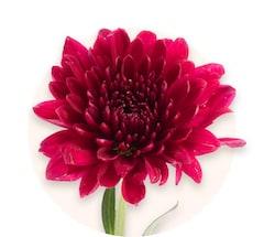 Красные хризантемы
