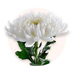 Crisantemos blancos