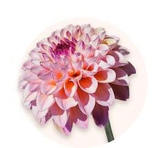 Multicoloured chrysanthemums