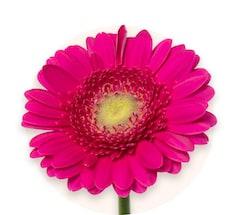 Różowe gerbery miniaturowe