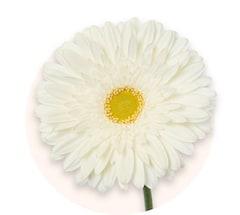 Białe gerbery miniaturowe