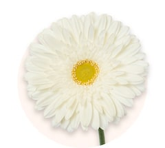 White germini