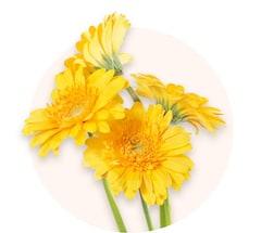 Желтые гермини