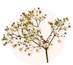 Paniculata