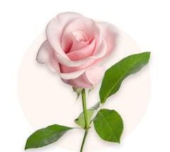 Roses roses
