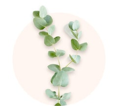Gałązki eukaliptusa