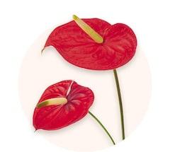 Rotes Anthurium