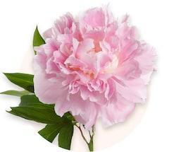 Peonie rosa