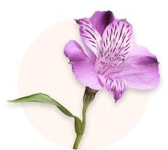 Alstroemerias violets