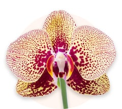 Orquídea amarilla de corazón rosa