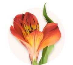 Alstroemerias orange