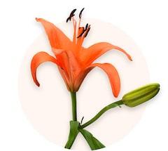 Gigli arancioni