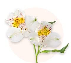 White alstroemerias