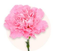 Œillets roses