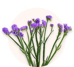 Фиолетовая статица