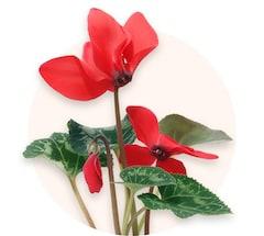 Red cyclamen
