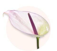 Białe anturium