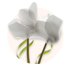 Ciclamen blanco