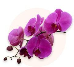 Fioletowa orchidea