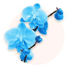 Niebieska orchidea